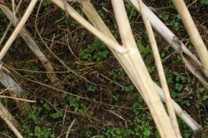 Wrażliwość zgnilizny twardzikowej na wybrane substancje czynne fungicydów