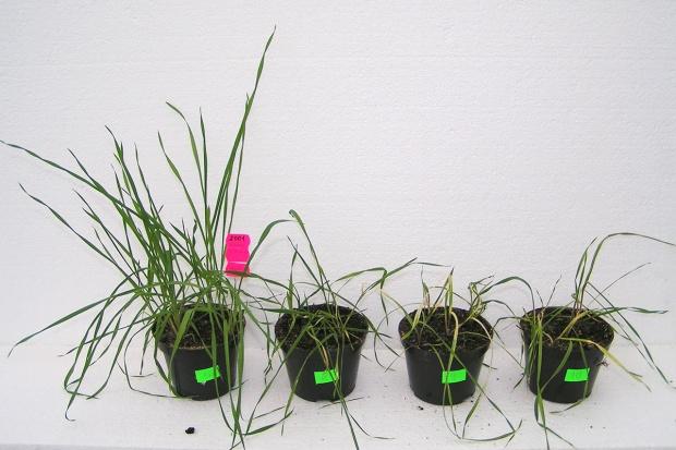 Dlaczego herbicyd nie działa? Zjawisko odporności chwastów