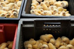 Rosja może zakazać dostaw jaj inkubowanych i żywych kurcząt z Polski