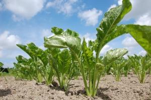 Francja zamierza zwiększyć produkcję cukru