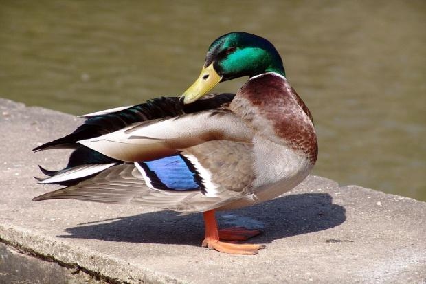 Ptasia grypa groźna także dla zamkniętych hodowli