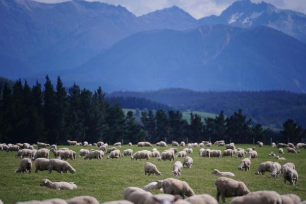 IERIGŻ: Są symptomy wychodzenia z kryzysu w owczarstwie