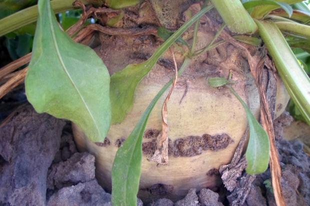 Opady przyczyniły się do spadku zawartości cukru w korzeniach buraka