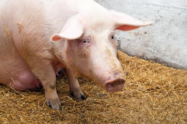 Fatalne wieści zza Odry: duży spadek cen świń