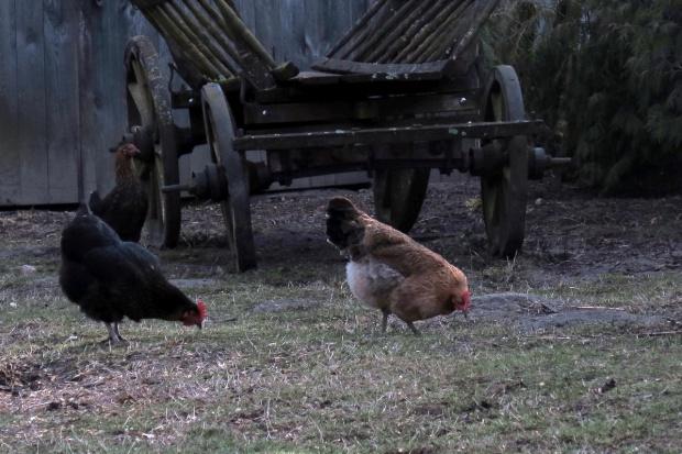Zielononóżka kuropatwiana – rasa idealna do chowu przyzagrodowego