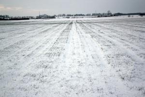 Zagrożenia dla zbóż w czasie zimy