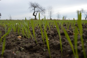 CCC na wiosenne dokrzewienie pszenicy ozimej