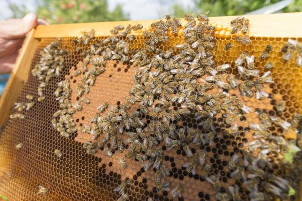Pszczelarz ukradł pszczoły pszczelarzowi