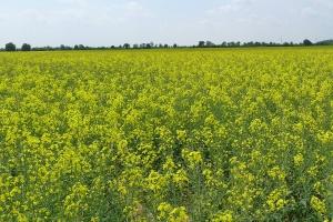 Solidne odreagowanie wcześniejszych spadków cen rzepaku i soi
