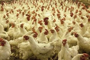Ptasia grypa – nowe przepisy prawne