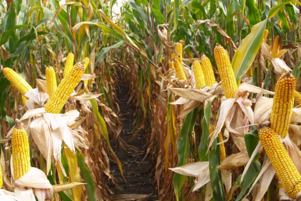Dobry rok dla kukurydzy