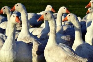 EFSA o zapobieganiu ptasiej grypy H5N8