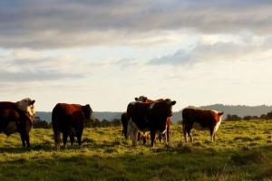 UE: Wzrosły ceny bydła rzeźnego