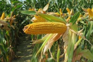 Najplenniejsze odmiany kukurydzy