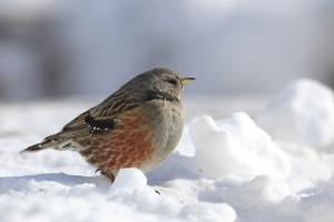 Ptaki polskich Karpat - zinwentaryzowane przez OTOP