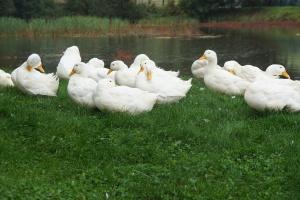 Francja: Eutanazja 800 tys. gęsi i kaczek