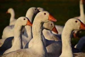 Francja rozpoczyna uboje zapobiegawcze przeciw  ptasiej grypie