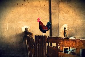 Za wypuszczanie kur w czasach ptasiej grypy - 8 tys. zł kary
