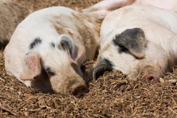 Niemcy: Świnie znów tanieją