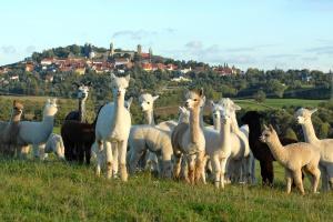 Alpaki - doświadczenia hodowlane z gospodarstwa ze Szwajcarii Saksońskiej