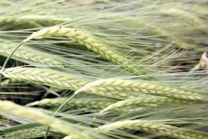 13 nowych odmian zbóż jarych