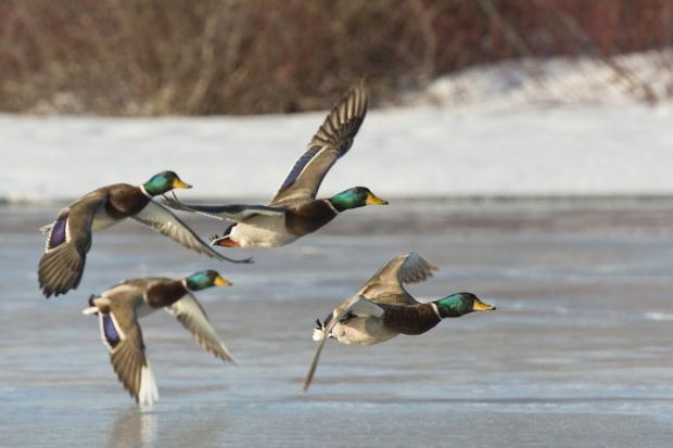 14. ognisko ptasiej grypy u dzikiego ptactwa w Polsce