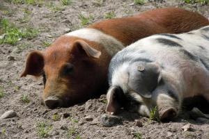 Wyraźny spadek cen świń w styczniu