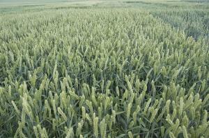 Wybór odmian pszenicy jarej