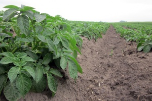 W tym roku Krajowy Rejestr wzbogaci się tylko o dwie nowe odmiany ziemniaka