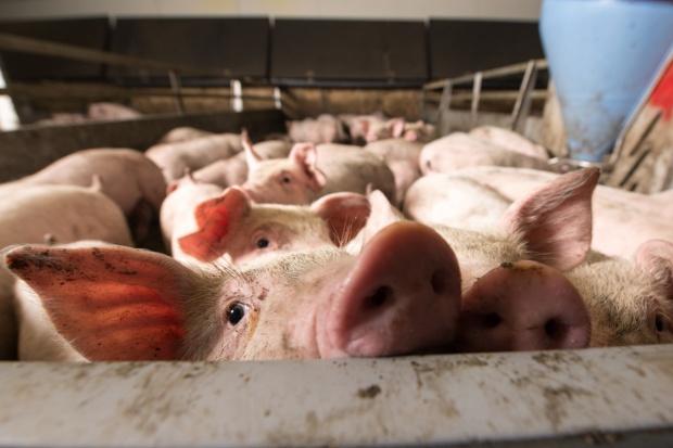 Niemcy: Duży wzrost cen świń rzeźnych