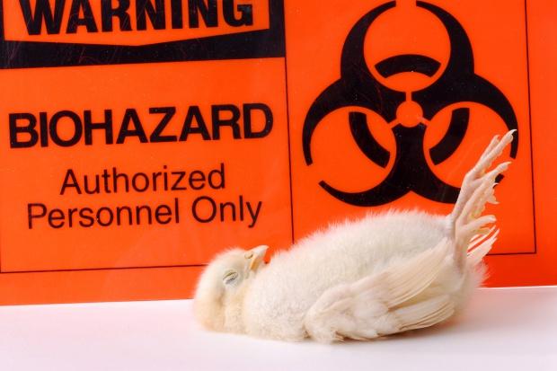 Lubuskie: Ubito ponad milion sztuk drobiu z powodu ptasiej grypy