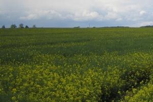 Nowe odmiany rzepaku jarego i konopi włóknistych