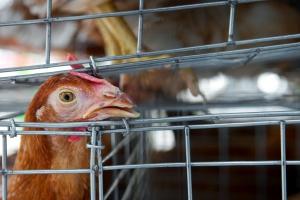 Rolnik wyrzucił martwe kury - sąsiedzi myśleli, że to ptasia grypa