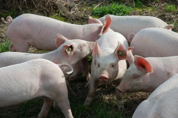 Chiny: Produkcja wieprzowiny najniższa od 2011 r.