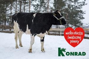 Jałówka z aukcji WOŚP sprzedana za niemal 12 tys. zł
