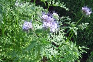 Facelia błękitna: uprawa na nasiona