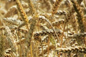 Ceny zbóż w skupach stabilne