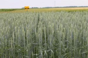 Odmiana pszenicy jarej Arabella HR Danko..Fot. materiały prasowe