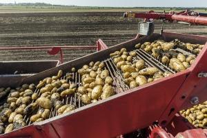 Możliwe większe wsparcie dla plantatorów ziemniaków