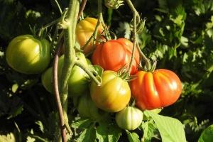 Rumunia chce osiągnąć samowystarczalność w produkcji pomidorów