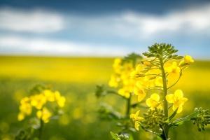 Mieszane notowania oleistych po raporcie USDA