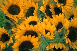 USDA: Mniejsze szacunki produkcji nasion oleistych