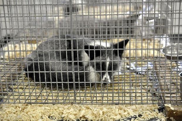 Viva!: Polska w czołówce Europy pod wzgl. zwierząt hodowanych na futra