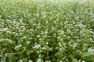 Gryka – uprawa na nasiona