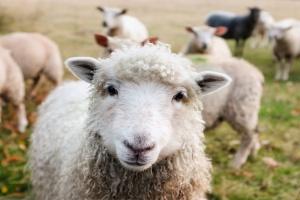 KE: W 2017 r. w UE uboje owiec bez zmian, ceny nieco niższe