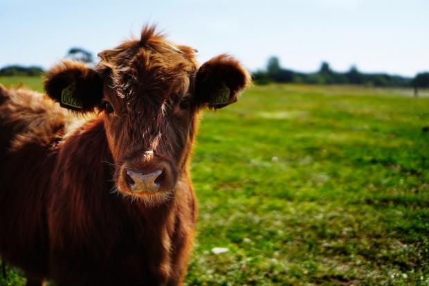 W Niemczech nasilają się kradzieże bydła