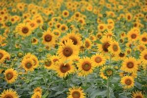 Rosja: Prognozy większego eksportu oleju słonecznikowego