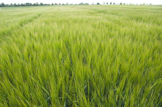 Odmiany zbóż jarych z Małopolskiej Hodowli Roślin