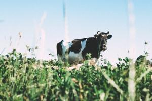 Niemcy: Nasilone kradzieże bydła w Brandenburgii