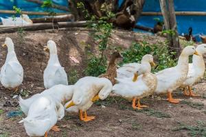 Francja: Kolejne uboje na fermach kaczek